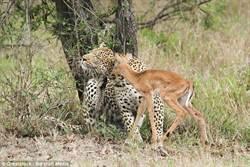 跨越獵者與獵物 豹與羚羊同嬉戲