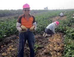 種豆薯一甲子 83歲陳天贊道興衰史
