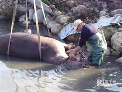 河馬「阿河」下午運抵木柵動物園解剖 釐清死因