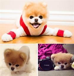 2014年網路最紅寵物明星:小狗Boo奪魁