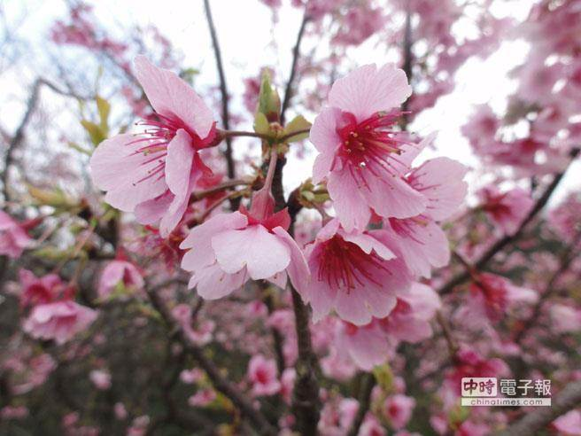 2015年全台第一波山櫻花在坪林、三芝區已初開,農業局今年更將於烏來區試辦賞夜櫻活動,讓民眾體驗不一樣的櫻花之美。(資料照片/林金池攝)