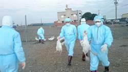 彰化第3場感染禽流感 今晚撲殺