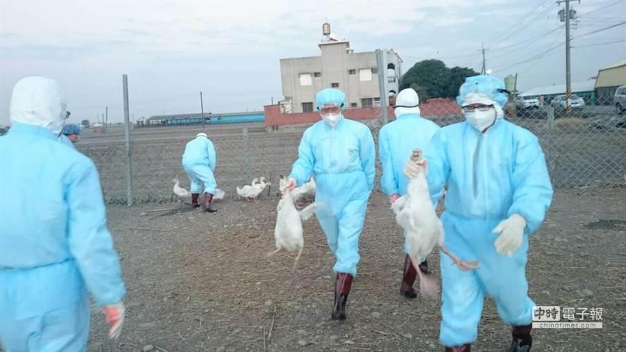 竹塘肉鵝場今晚快速完成撲殺作業。(彰化縣動物防疫所提供)