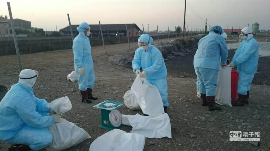 竹塘肉鵝場今晚完成撲殺作業。(彰化縣動物防疫所提供)