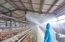名家觀點-開放家禽打疫苗