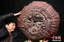 大陸鄭州現200年靈芝王 直徑1.5公尺