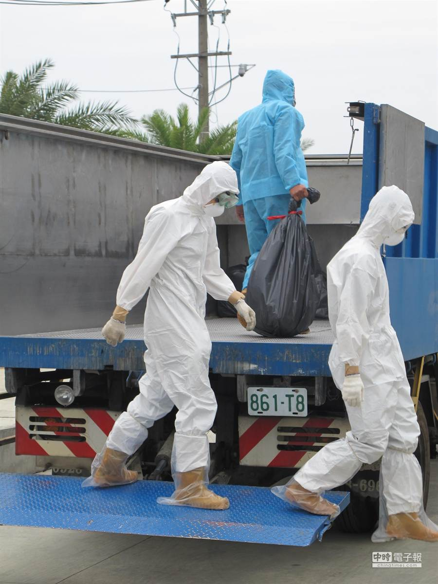 防疫人員將一袋袋雞屍搬運上車,準備送往化製場處理。(許智鈞攝)