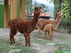 動物園羊年親子營 羊駝也參一腳