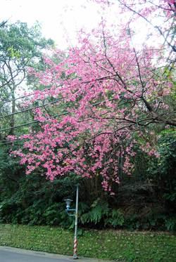 土城桐花公園 1月底櫻花將滿開