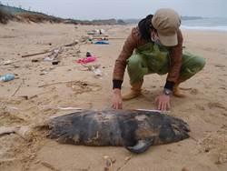 江豚魂斷金門海灘 保育動物再少1隻