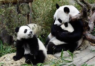 全球唯一大熊猫三胞胎获存活认证