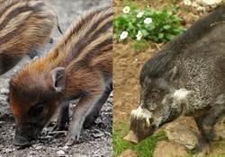 英動物園疏忽 稀有野豬吃掉親骨肉