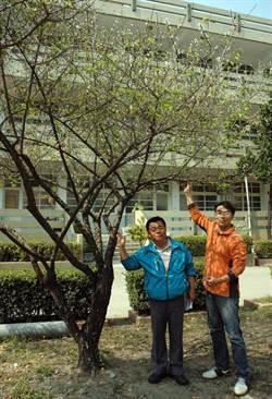 中正國小梅花開 意外發現「青松梅樹」