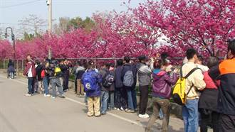 泰安櫻花季14日開跑 八重警櫻迎賓