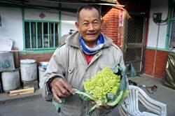 花椰菜似佛祖頭 老農不敢煮來吃