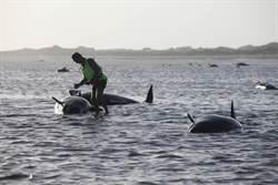 200頭領航鯨 集體擱淺黃金灣