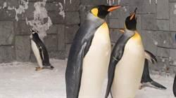 杜拜滑雪場公企鵝 情人節前告白成功