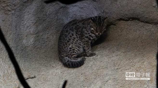 台北市立動物園的石虎「集寶」在石壁上打盹。(台北市立動物園提供)
