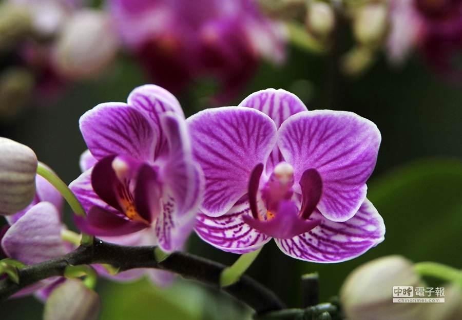 賣最好並申請最多國家品種權(台灣、歐盟、日本)的蘭花 Phal.Sogo Lotte(世芥 F2510)。(王錦河攝)