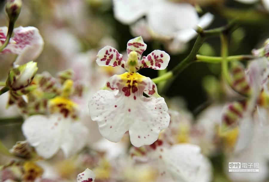最特殊全球只在台灣生產的蘭花文心蘭白雪。(王錦河攝)