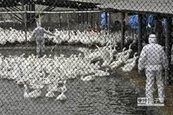 9成鵝死於禽流感  夏恐無鵝可吃