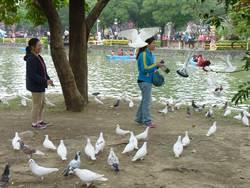 台中公園燈區 環保局籲勿餵食野鴿