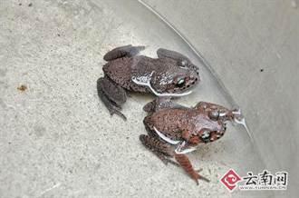 世上鬍子最多的青蛙  現蹤雲南