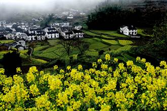 黃山開啓中國最美油菜花「盛宴」