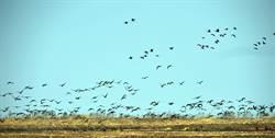 萬隻珍稀候鳥飛臨官廳水庫