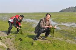 金門海域產46種海藻 具潛力商機