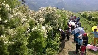 茶樹花海壯觀 頭社活盆地遊人如織