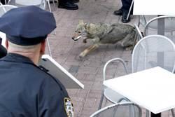 紐約警市區捉狼 2小時落網
