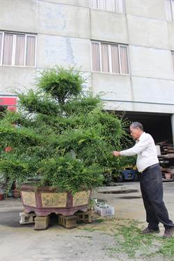 工廠老闆 收藏櫸木盆栽成癡