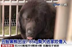 有黑熊出沒? 85公斤獒犬咬傷人
