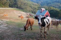 金門牛隻驚爆口蹄疫 旅客不得攜生肉來台