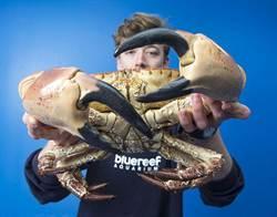 巨蟹現身英吉利海峽 巨螯可夾碎手腕
