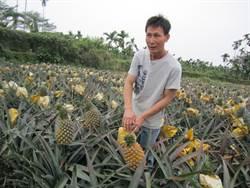 紅土種鳳梨 賣出市場最高價