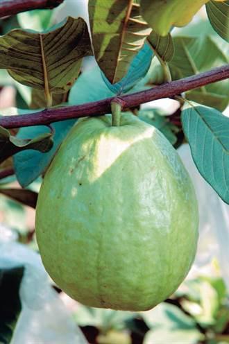是水果也是藥材 番石榴止瀉降血糖