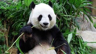 研究:貓熊該吃肉而不是竹子