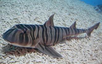 海生館斑紋異齒鮫產卵鞘 館方盼順利孵出