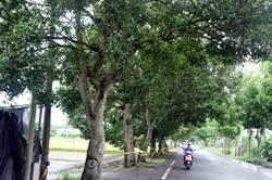 防颱修剪芒果路樹 林內公所做成芒果青