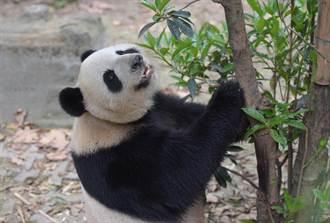 中央赠澳大熊猫「开开」、「心心」亮相