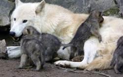 狼來了!時隔300年 英國終有幼狼誕生