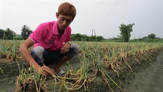 梅雨毀蔥苗 返鄉務農青年嘆差點無熱情