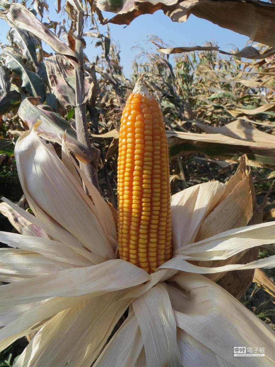 作為飼料用的硬質玉米,國內自產率不到1%,雲林縣去年加碼獎勵轉作,面積從100公頃增至550公頃。(周麗蘭攝)