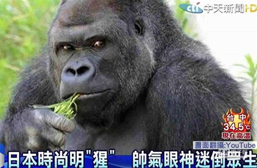 日史上最帥猩猩/圖截自中天新聞