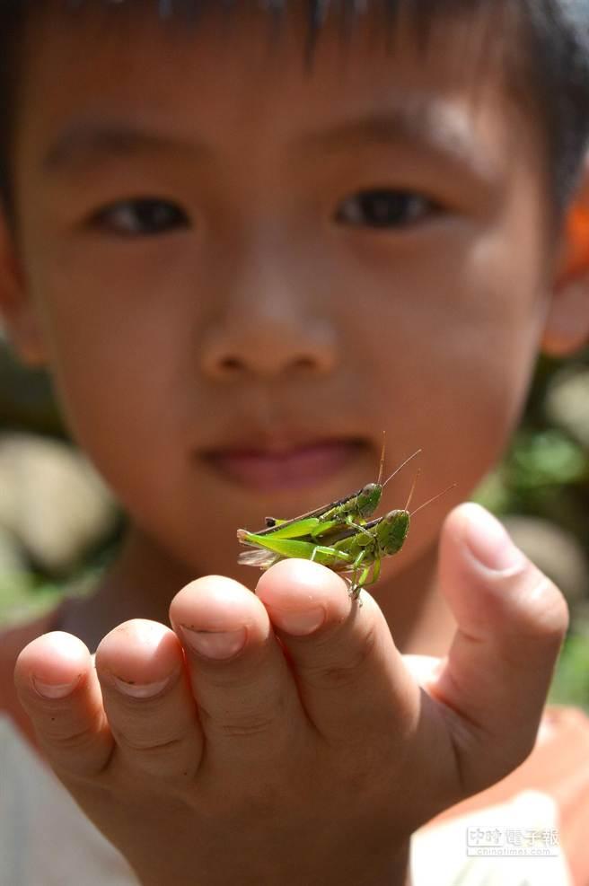 1對交尾中的蝗蟲,突然蹦跳到了學童身旁,小朋友興奮、專注、細心觀察。(沈揮勝攝)