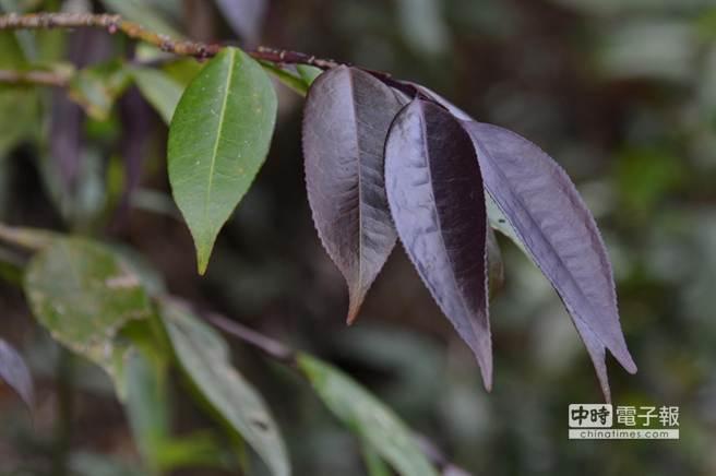 蓮華池最具代表性的特有植物「蓮華池柃木」。(沈揮勝攝)