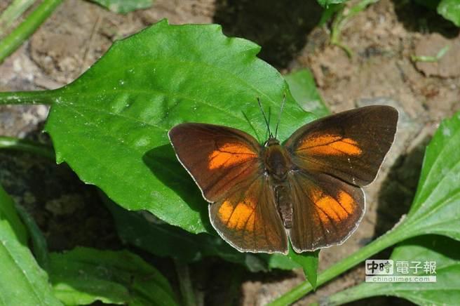 罕見美麗蝶類「銀斑小灰蝶」。(沈揮勝攝)