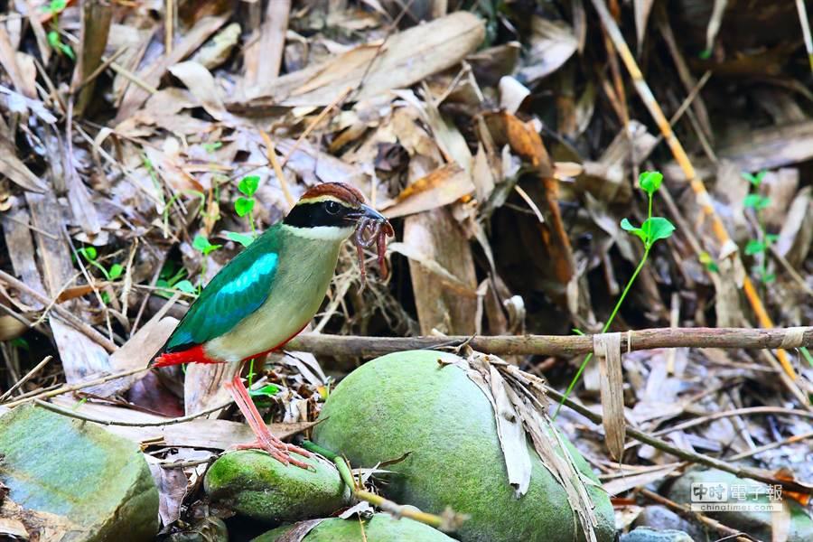 林內鄉龍過脈步道的八色鳥。(雲林野鳥學會常務理事吳崇漢提供)